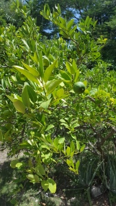 Godly Woman 911 Lime Tree